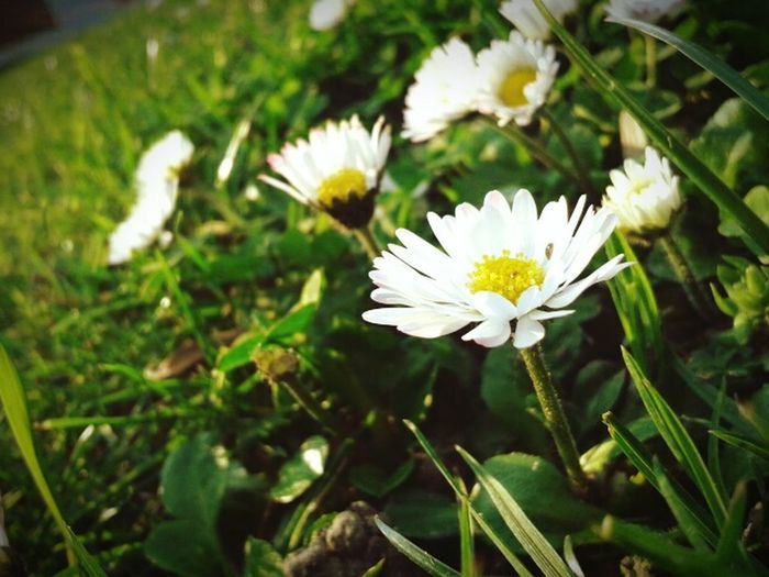 Nature Flower Growth Beauty In Nature Flower Head Fragility Freshness Plant Close-up No People Outdoors Blooming Day Light Yellow Withe Flower White Color Focus On Foreground Gänseblümchen The Great Outdoors - 2017 EyeEm Awards