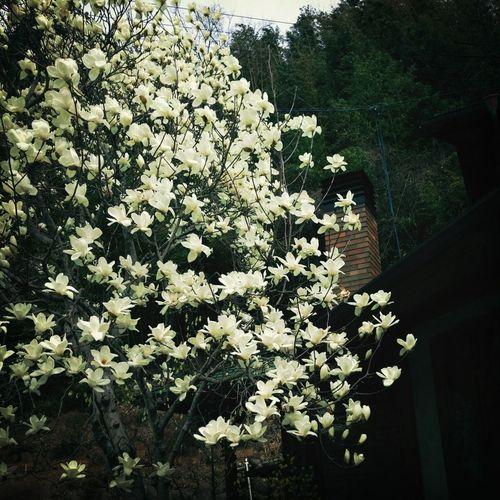 Flower White Blossom Magnolia