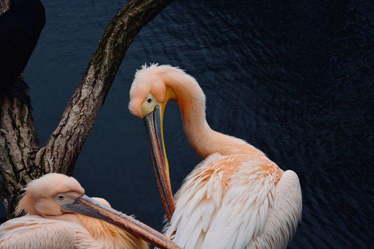Pelicans Animal
