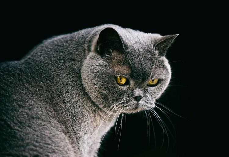 British cat, spain