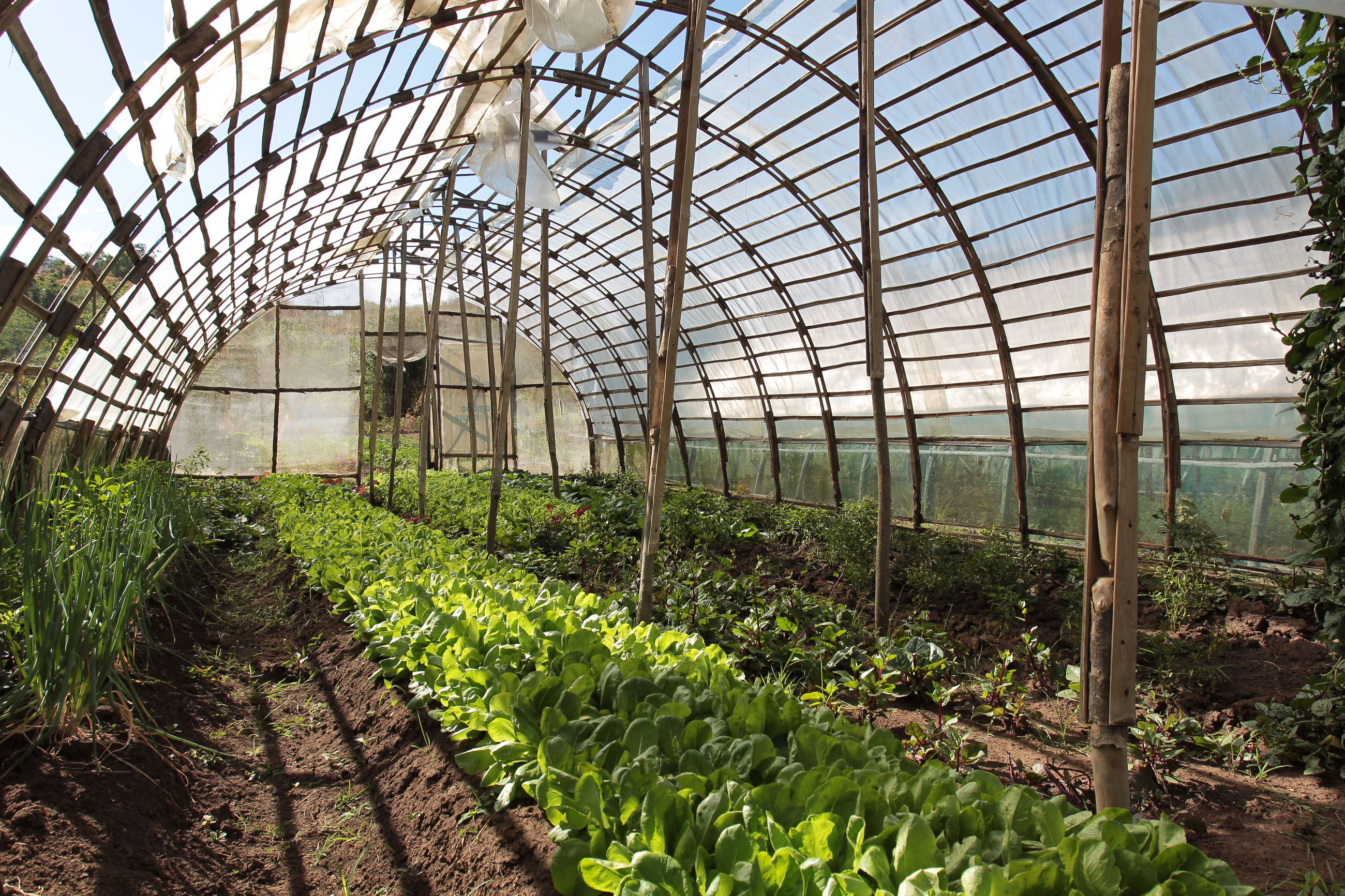 greenhouse, agriculture, growth, plant, plant nursery, nature, vegetable, indoors, day, green color, no people, leaf, rural scene, beauty in nature, freshness