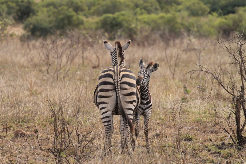 South Africa Animal Themes Animal Wildlife Animals In The Wild Day Full Length Grass Krugernationalpark Krüger National Park  Mammal Nature No People Outdoors Safari Animals Standing Togetherness Tree Young Animal Zebra