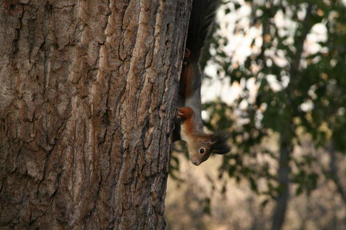Squirrel descends the tree upside down Nature Animal Wild Wildlife Animal Themes Animal Tree Upside Down Upsidedown Tree Squirrel