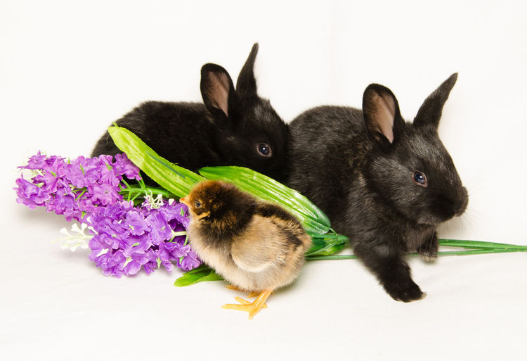 Portrait of two black bunnies with chick and flowers Puppy Love Rabbits Animal Animal Themes Baby Chick Bird Black Bunny Bunny  Chick Chicken - Bird Feather  Flower Flowers Group Of Animals Puppies Puppy Rabbit Rabbit - Animal Rodent Studio Shot Sweet Togetherness Two Bunnies White Background Young Animal