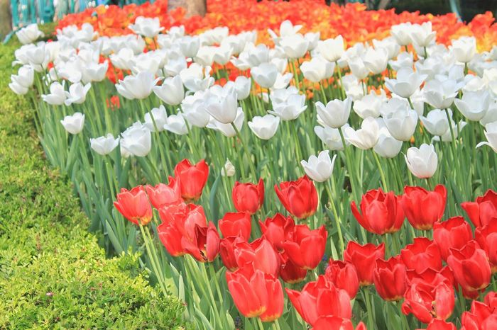 Abundance Beauty In Nature Blooming Blossom Day Field Flower Flower Head Flowerbed Fragility Freshness Growth High Angle View In Bloom Nature Orange Orange Tulip Petal Plant Red Red Tulips Tulip White White Color White Tulips