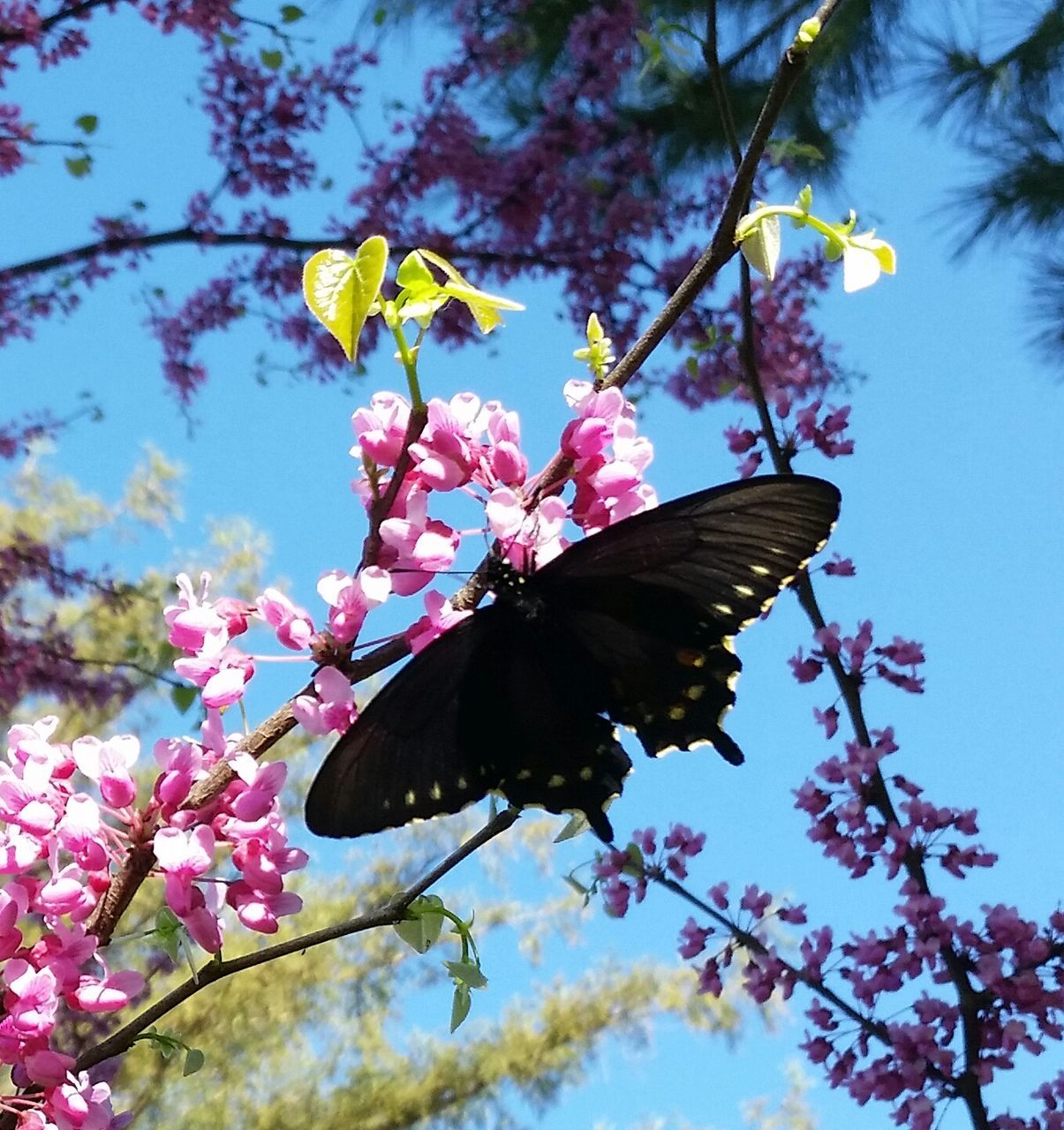 flower, fragility, beauty in nature, branch, pink color, low angle view, growth, freshness, tree, nature, blossom, petal, no people, day, springtime, outdoors, twig, blooming, flower head, close-up, leaf, butterfly - insect, sky