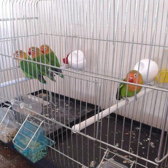 Apo By Die HuisCennet Papağanı