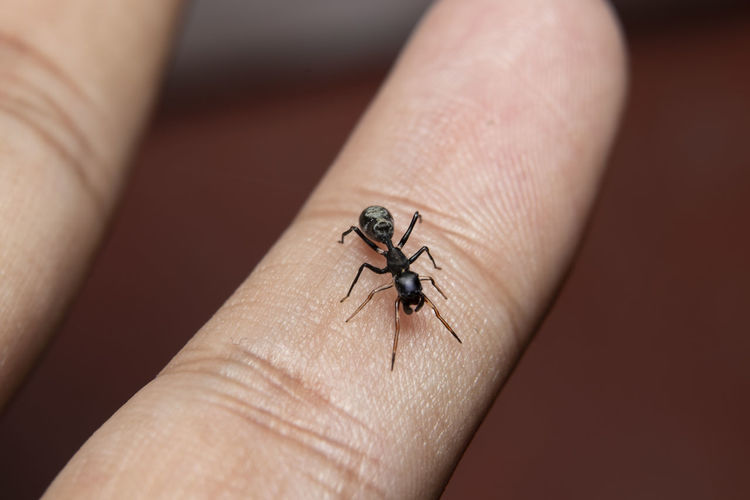 Close-up of ant-spider on hand
