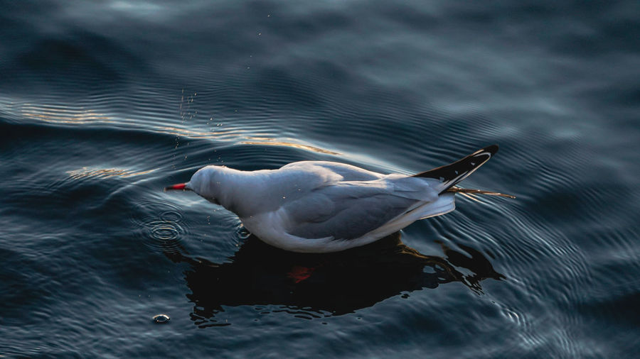 High angle view of seagull swimming in a lake. locarno, switzerland