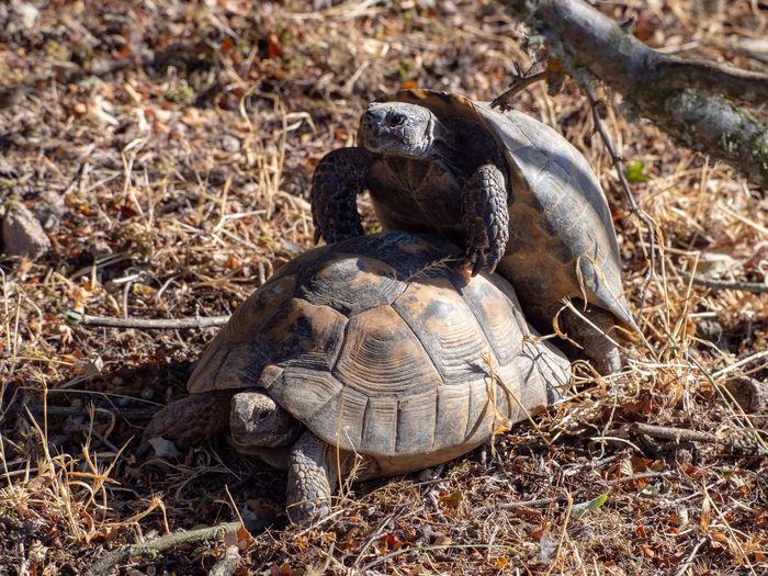 Common tortoises (Testudo graeca) mating Outdoors Greece Lesvos Lesbos Island Greek Islands Animal Wildlife Animals In The Wild Tortoise Nature Animal Themes Animal Mating Testudo Graeca Reptile