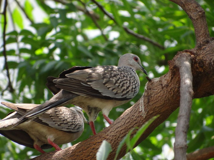 BIRDS ON THE TREE Pigeons Branches Of Trees Nature Lush - Description Bird Perching Tree Branch Mourning Dove Close-up Tropical Bird Bird Of Prey Feather