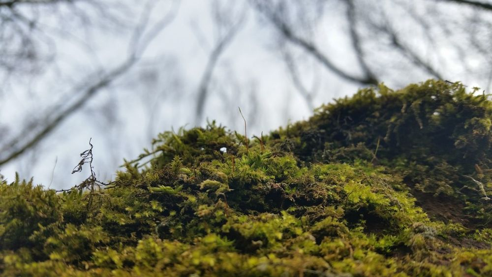 Manchester Moss In Macro Forest Moss-covered Growing New Life Greenery New Growth WoodLand Moss Close Up Moss Tree Branch  Tree Moss Covered Tree Moss On Trees Mossy Tree Tree Silhouette Tree In Background