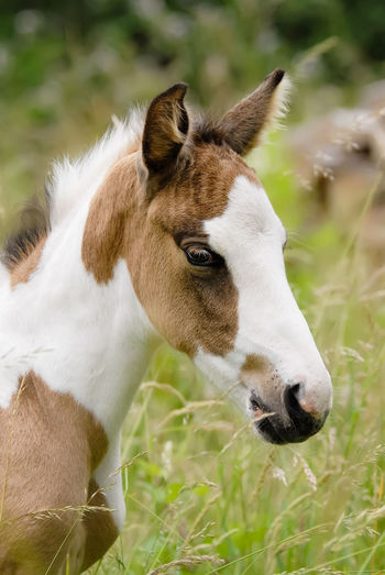 Close-Up Of Foal On Field