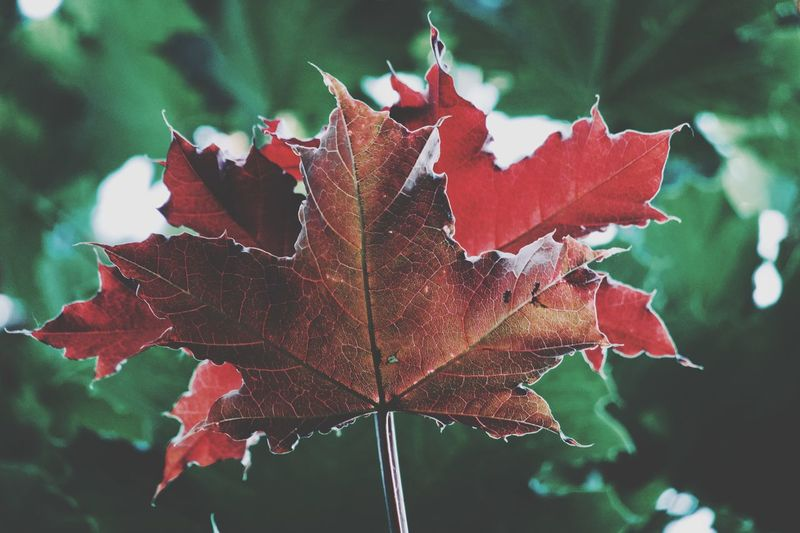 Leaf Plant Part Close-up Plant Beauty In Nature Nature Autumn Focus On Foreground Maple Leaf Change Tree Vulnerability  Outdoors Fragility Natural Pattern No People Growth Day Red Leaf Vein