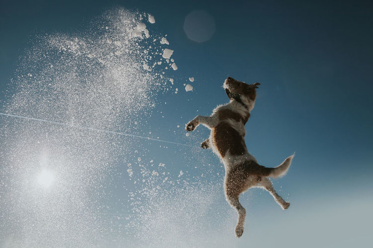 Animal Themes Animal Jumping One Animal Motion Mid-air Mammal Full Length Nature Pets Domestic Animals Domestic Canine Dog Sky No People Vitality Running Agility Snowing