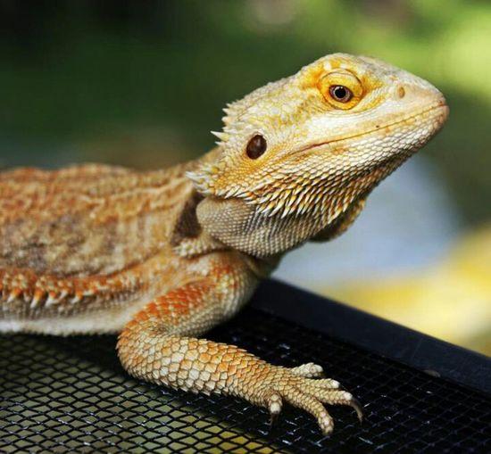 Lizard Wildlife Reptiles Nature_collection Eye4photography  EyeEm Nature Lover EyeEm Best Shots