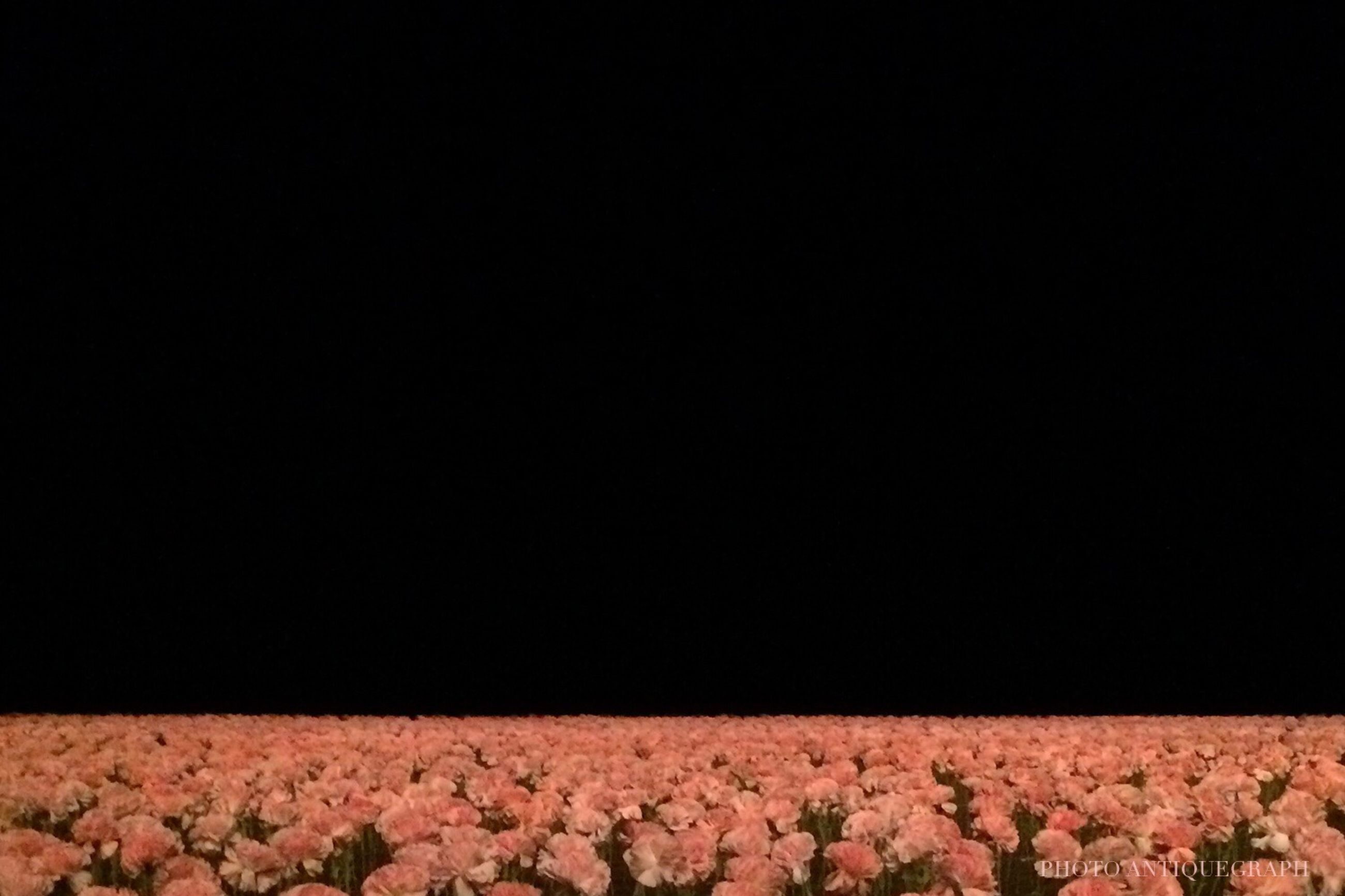 copy space, flower, nature, red, no people, clear sky, growth, black background, freshness, outdoors, flower head