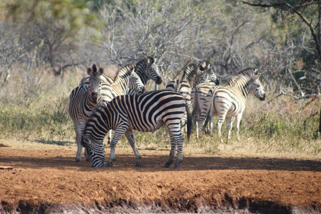 zebra, animals in the wild, striped, animal wildlife, animal themes, mammal, safari animals, nature, day, outdoors, no people, grass, standing, full length, tree