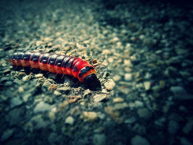About 4 inches tall.. Caterpillar Moth Nature Dramatic Macro Fauna Eyeem Fauna