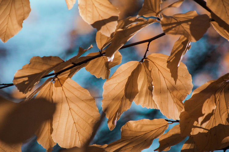 Golden Leaves Close-up No People Day Outdoors Selective Focus Nature Nature_collection Nature Photography EyeEm Nature Lover Beauty In Nature Bokeh Bokeh Photography Autumn Autumn colors Textured  Textures and Surfaces Pattern Leaf Plant Part Plant Leaves Fragility Tree Dried Leaf Vein