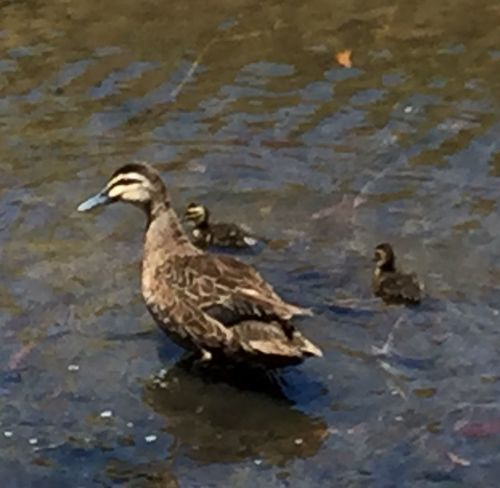 Mother Duck and Ducklings Swimming in canal near work. Little Wings Brown Nature_collection South Australia Beautiful Feathers Feathered Friends