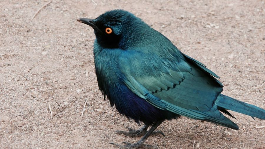High angle view of blue starling on field