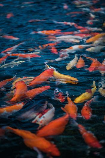View of koi carps swimming in sea