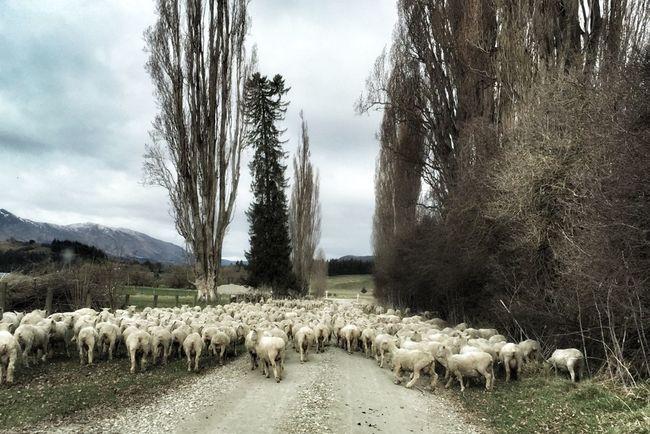Traffic Jam Queenstown Nz Sheep IPS2016Nature Here Belongs To Me