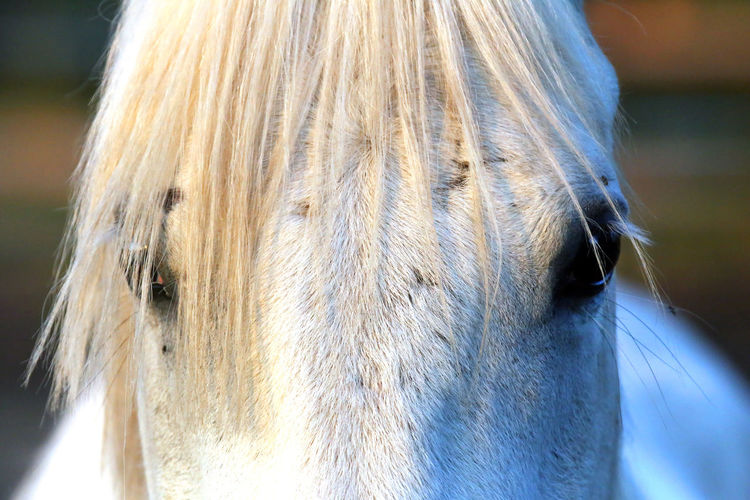 Extreme closeup of beautiful young grey colored arabian mare against natural background at sunset golden hour Arabian Breed Barn Beautiful Portrait Beauty Black Color Closeup Corral Day Domestic Animal Equestrian Life Equine Extreme Eye Eyes Close Up Face Farm Horses Farmers Market Farming Filly Gray Grey Head Shot  Herding Long Mane Looking Backwards Mammal Meadow Natural Background Nature Nobody Outdoor Outdoors Paddock Purebred Animals Ranch Riding Rural Scene Saddles Shagya Arab Side View Space Sport Stable Horse Stallion Stud Summer Season Sun Sunset Background Thoroughbred Horse White Color One Animal Animal Themes Animal Animal Body Part Close-up Animal Head  Domestic Pets Domestic Animals Vertebrate Animal Wildlife Focus On Foreground No People Hair Livestock Horse Animal Hair Portrait Animal Eye Herbivorous Animal Nose Snout Animal Mouth