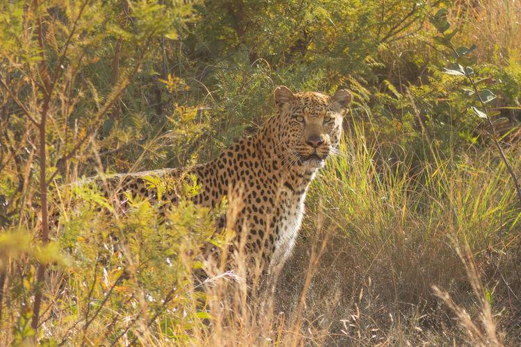 Leopard Standing Amidst Grass