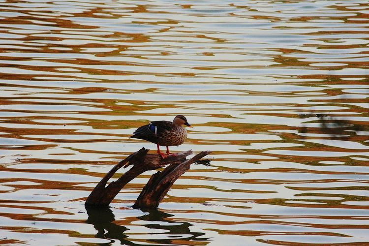 Day Water Outdoors No People Nature Animal Themes Close-up Themes Natgeo Ducks At The Lake Beauty In Nature Backgrounds Lakeview