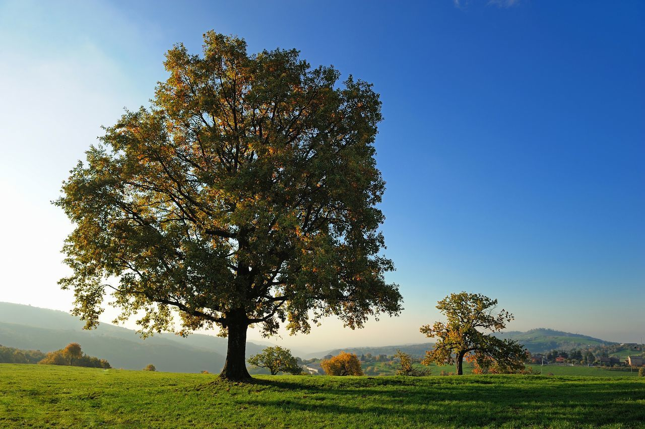 tree, nature, tranquility, beauty in nature, landscape, tranquil scene, field, scenics, grass, autumn, day, growth, no people, clear sky, outdoors, sky, mountain