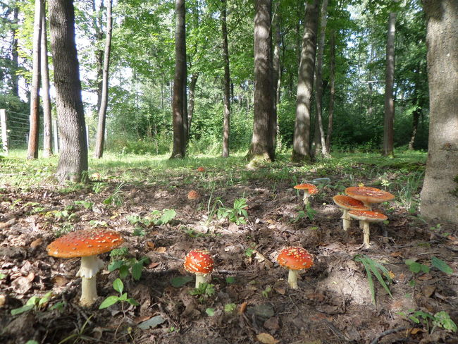 Abundance Beauty In Nature Day Forest Fragility Freshness Green Green Color Growth Mushrooms Nature Non-urban Scene Outdoors Plant Scenics Tranquil Scene Tranquility Tree Tree Trunk WoodLand Amanita Flyagaric