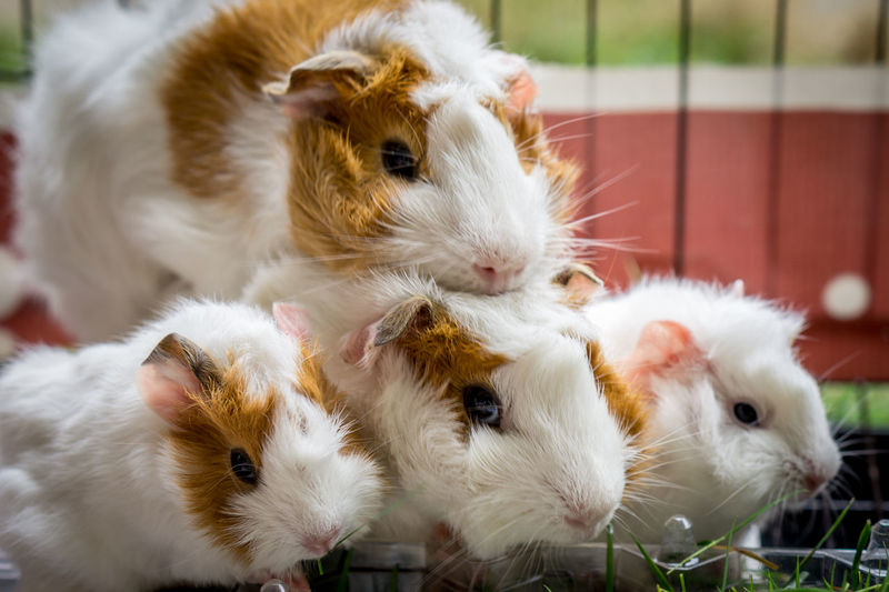 Portrait photo of a Guinea pig family Baby Guinea Pig Mother Young Adorable Animal Close-up Cute Domestic Animals Father Fur Group Happy Family Pet Potrait Small White Pet Portraits