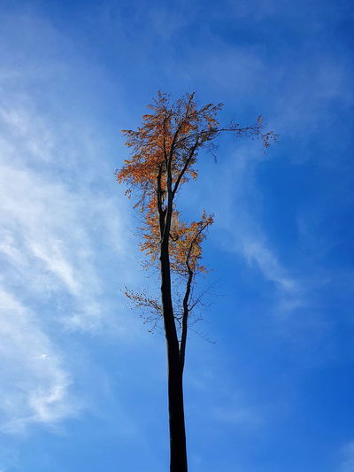 #Autumn Leaves #October  #alone #autumn #blue Sky #branches #cloud #clouds  #cloudy #cloudy Sky #forest #hungary #orange Leaves #yellow Leaves Beauty In Nature Blue Branch Low Angle View Nature No People Outdoors Sky Tranquility Tree Tree Trunk