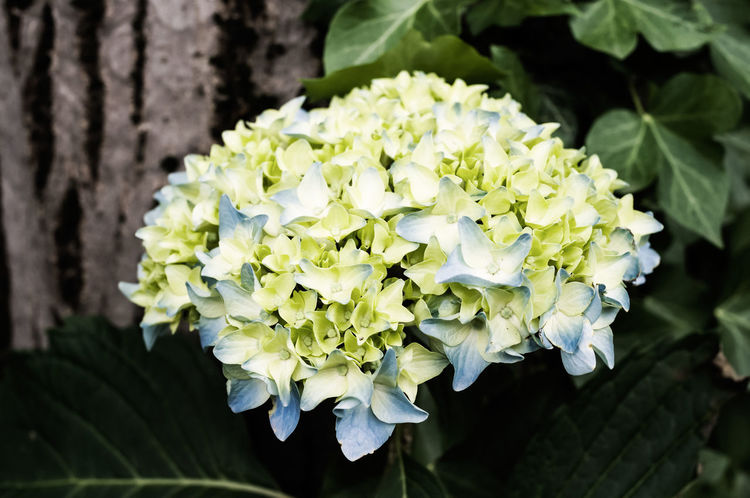 green blue violet blossom - summer gardens Beauty In Nature Blooming Blossom Botany Close-up Flower Flower Head Focus On Foreground Fragility Freshness Growth Hydrangeas Leaf Nature Nature Collections New Life No People Petal Springtime Summer Gardens