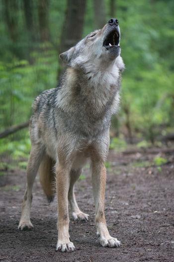 Wolf Howling On Field