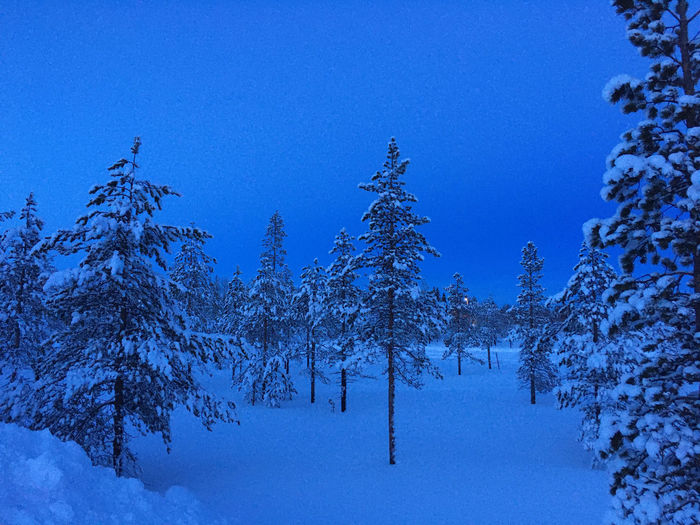 Pine trees on snow covered land against blue sky