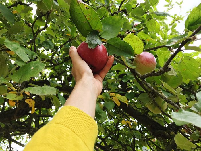 Picking Apples Apple - Fruit Apple Tree Plant Human Body Part Tree Healthy Eating Fruit One Person Food Human Hand Food And Drink Personal Perspective Hand Real People Day Nature Lifestyles Branch Wellbeing