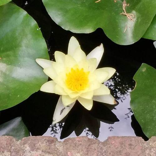 Flower Flor Kukka Fleur Yellow Amarillo Keltainen Jaune Pond Estanque étang Lampi UB UniversitatdeBarcelona Barcelona Bcndreamers Bcnexploradores Bcnexplorers Thebarcelonist Fotofanatics_flowers_ Earth_deluxe