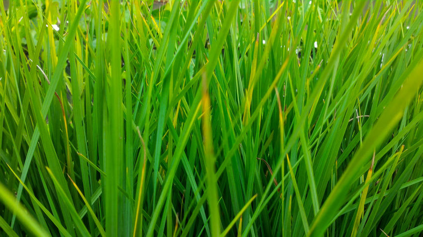 long and slender green leaves of tall grasses Garden EyeEm Gallery Eyeem Philippines Eyeem Market EyeEm Nature Lover EyeEm EyeEm Indonesia Eyeemmarket Eyeem Garden EyeEm Best Shots - Nature Green Color Growth Grass Nature Backgrounds Full Frame Plant Day Crop  Cereal Plant Close-up Outdoors Rice Paddy Ear Of Wheat Agriculture Beauty In Nature Field No People Freshness Rice - Cereal Plant
