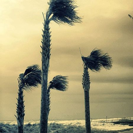 Palms in Hurricane Irene Igersjax Ig_republic Ig_ruralamerica Ilovejax onlyinduval jax2025 trailblazers_rurex_bnw trailblazers_rurex royalsnappingartists rsa_rurex rsa_streetview heyfred_lookatthis