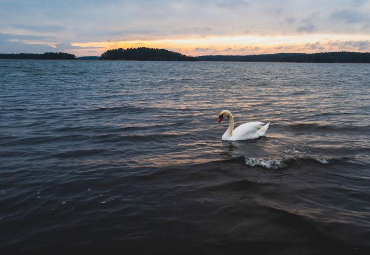 A swan on a sea against a sunset sky