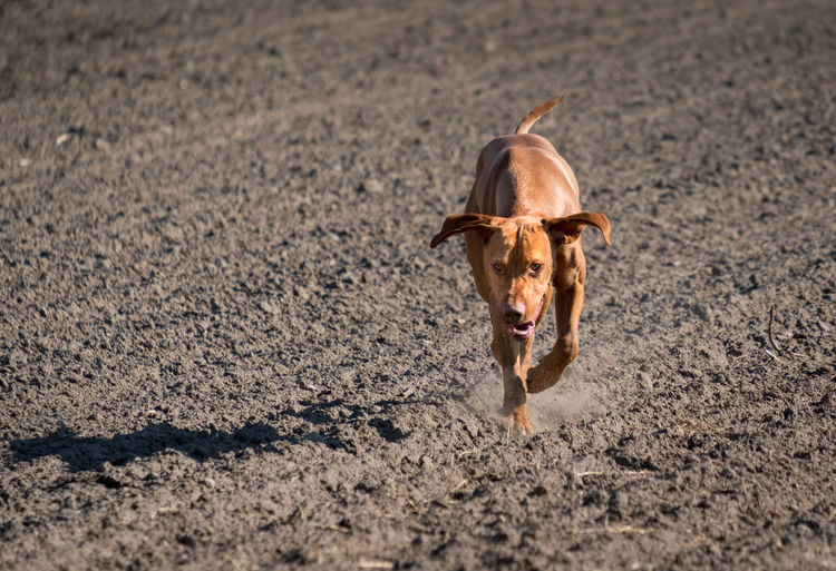 Running Active Animal Themes Brown Day Dog Domestic Animals Dust Hunting Mammal Nature No People One Animal Outdoors Paws Pets Sand Shadow, Vizsla Life Vizslalove