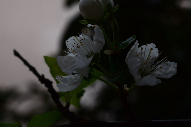 Cottage Branches Close-up Flowers Green Leaves White Photography