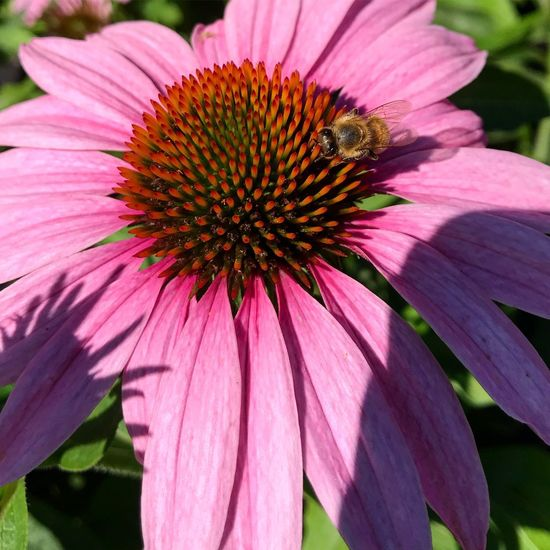 Buzzing in the sun. Plant Day Nature No People Beauty In Nature Pollen Flower Head Coneflower Animal Themes Inflorescence Close-up Pink Color Animal
