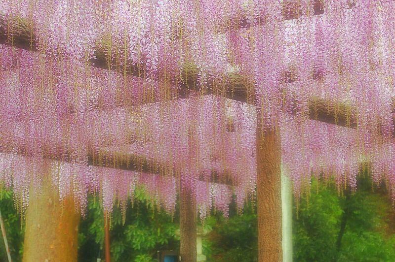 藤棚。 ASIA 藤 Flowers