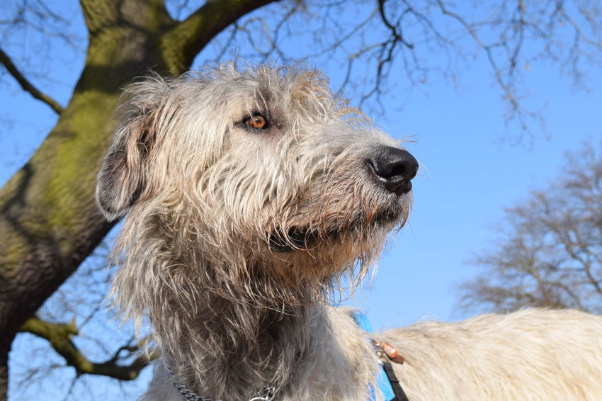 One Animal Animal Themes Tree Outdoors Sky Domestic Animals Animal Body Part Close-up Dogs Of EyeEm Dog Of The Day Irish Wolfhound Dogslife February 2017 Take A Walk In The Park Winter 2017 How Is The Weather Today? Portrait Herrenkrugpark Blue Sky TreePorn Sunlight Low Angle View Tree