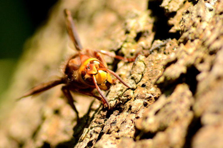 Woodlands Woods Swineshead Wood Animal Animal Themes Animal Wildlife Animals In The Wild Bedfordshire Close-up Day Hornet Insect Invertebrate Nature No People One Animal Outdoors Selective Focus Sunlight Zoology