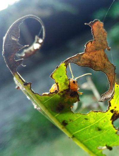 อาหารข้า อร่อยมาก Leaf Insect Close-up Green Color